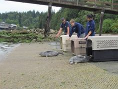 Vancouver Aquarium releases first rescued seal pups of season (PHOTOS)