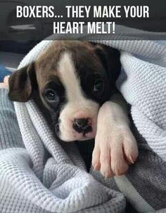 So true! Boxer pups melt hearts faster than a microwave melts butter.