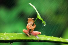 A frog using a leaf as an umbrella in a rain storm. Shot by Penkdix Palme.