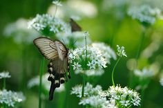 Lacy brown butterfly