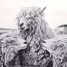 Sheep Art  Black and White Photograph Sheep by NatureMandalas