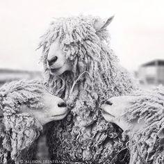 farm, black white photography, animal photography, art photography, art prints, backup singer, sheep, allison trentelman, photographi