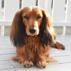 Beautiful long haired doxie
