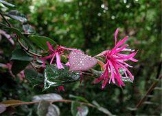 Zhuzhou Fuchsia Fringe Flower  Loropetalum chinense 'Zhuzhou Fuchsia'