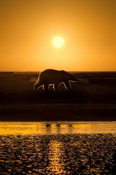 Polar bear sunrise 1 by Ian Plant / 500px Image Master, Exploration, Love Bear, Beautiful Moon, Shades Of Gold, Animal Wallpaper, Animals Of The World, Stone Painting, Animal Photography