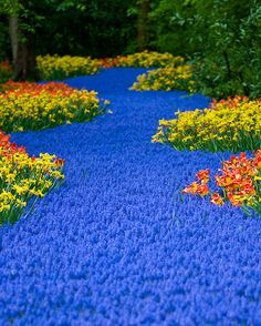 The world's largest flower garden is called Keukenhof. It is located in the Netherlands. The first 2 pictures are known as the River of Flowers. It looks so beautiful that I just want to take a nap there on a sunny day. This garden covers 32 hectares and has around 7 millions bulbs planted each year. (More Information)
