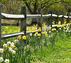 Daffodils along the fence  (split rail, very similar to fence at Highlands)