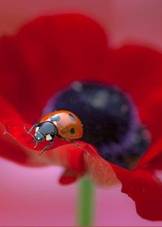 Ladybug Greeting Card for Sale by Kimmy Jardetzky Beautiful Bugs, Beautiful Images, Photo Coccinelle, Lucky Ladies, Lady Bugs, Red Poppies, Great Artists, Beetle, Pet Birds