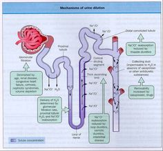 parts of nephron and function | Re: Why is there a difference in the thickness of the loop of henle ?