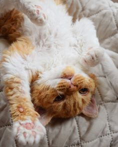 Selkirk Rex chat mouton Selkirk Rex, Rex Cat, T Rex, Poodle, Curly, Kitty, Pets, Animals, Cute Kitty