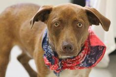 NAME: Al  ANIMAL ID: 27737781  BREED: Bassett  SEX: male-neutered  EST. AGE: 2 yr  Est Weight: 31 lbs  Health: heartworm neg  Temperament: dog friendly, people friendly.  ADDITIONAL INFO: RESCUE PULL FEE: $49  Intake date: 5/4  Available: Now