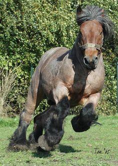 Als ik ooit een paard kan kopen...dan wordt het een Belgisch trekpaard! In ieder geval een dikke knol met sokken!