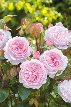 Designs For Garden Flower Beds The Olivia Rose Austin Is A Pink, Soft Rose That The Albrighton-Based Grower Is Describing As Possibly The Best English Rose We Have Introduced To Date. Old English Roses, Austin Rosen, Olivia Rose, Shrub Roses, Old Rose, David Austin Roses, Growing Roses, Chelsea Flower Show, Rose Cottage