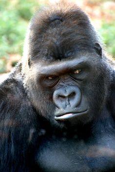 Gorilla by (print image) Large Animals, Animals And Pets, Baby Animals, Cute Animals, Primates, Monkey World, Gorilla Tattoo, Silverback Gorilla, Magnificent Beasts