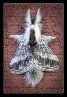 Lappet Moth (Artace cribraria)