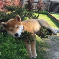 just hanging out in the pine tree having a nap ...lol... (may be photo shopped but a fun pic xxxx)