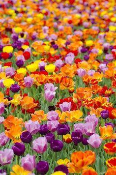 Beautiful field of tulips! #flowers #travel #pretty