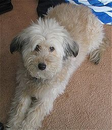 A Wheaten Terrier–Poodle hybrid, commonly known as a Whoodle