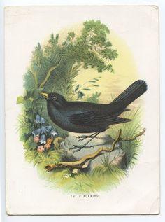 Vintage Blackbird