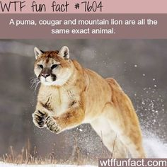 The difference between a cougar and mountain lion - WTF fun facts Wow Facts, Weird Facts, Random Facts, Crazy Facts, Strange Facts, Random Stuff, Animals And Pets, Funny Animals, Cute Animals