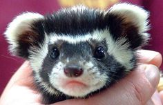 Marbled Polecat... looks like a fluffy ferret with speckles! <3