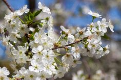 white flowers cherry