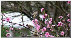 Oiseau chardonneret elegant chardonneret dans le pecher