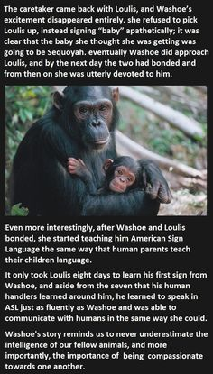 Proof that monkeys are more apathetic and more intelligent than most humans. Washoe has an amazing story.
