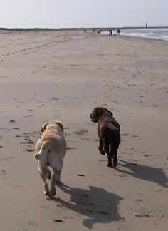 My labradors at the beach (2006)