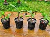 How To Grow Bananas Indoors.  I know you love them.  Maybe we can try one.