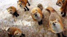 "Near the city of Sendai, ""Zao Kitsune Mao"", a village where many hundreds of foxes live! . . . . #japan #japón #japon #nippon #igers #instadaily #instatravel #travel #photography #love #picoftheday #landscape # #photographer #日本 #instagood #素敵 #jco #japancommunity #visitjapan #amazing #traveling #travelphotography #travelgram #amazingview #madeinjapan #traditional #japanese #fox #cute #animal"