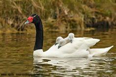 Cisne de cuello negro.