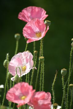 ~~Pink Poppies by Bull Rider~~