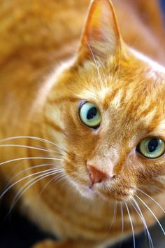Orange tabby cat - looking up I Love Cats, Crazy Cats, Cute Cats, Adorable Kittens, Orange Tabby Cats, Red Cat, Warrior Cats, Pretty Cats, Beautiful Cats