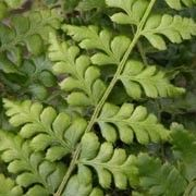 Botanical name: Polystichum braunii  Other names: Braun's holly fern, Bear's bed, Shield fern    Click image to learn more, add to your lists and get care advice reminders each month.
