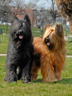 """Known in their home country, France, as Chien Berger de Brie (shepherd dog from Brie), Briards are called """"Hearts Wrapped in Fur. Big Dogs, I Love Dogs, Cute Dogs, Dogs And Puppies, Doggies, Awesome Dogs, Funny Dogs, Phteven Dog, Beautiful Dogs"""