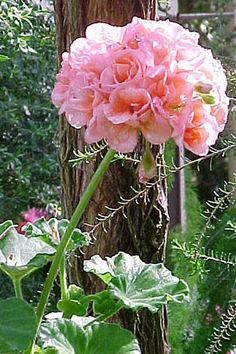 Google Image Result for http://www.uyau.com/garden_care/images/Garden_Flowers_Care/Common_Geranium_01.jpg