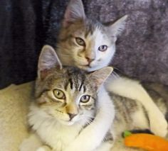 Ross & Rachel- Adorable kittens looking for a forever home!