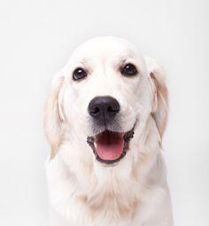 White Golden Retriever #Puppy #Hound #Chien #Perro #hond #hund #Cane #Koira #Dogs #Puppies #Pup #Pooch