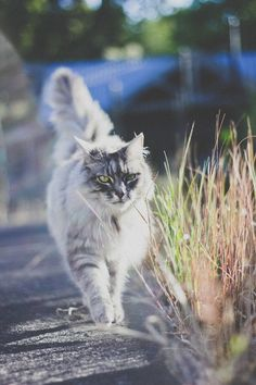 My Husband brought me s little Silver Persian kitten when we first started dating at 16, she grew up to look a lof like this kitty :-)