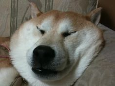 ものすごい表情でいびきをかきながら眠る柴犬が笑える!