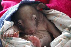 Spend Wombat Wednesday With Winnie!