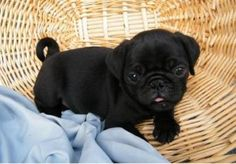 black teacup pug puppies | Zoe Fans Blog