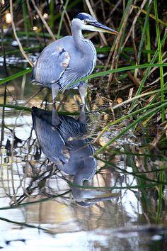 Great Blue Heron (Ardea herodias) at Sweet Springs, Los Osos, CA Great Blue Heron