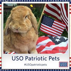 Meet Bear the patriotic bunny who is supporting our troops this week! Your pet can join Bear in showing his/her support for our military by using #USOpatrioticpets!