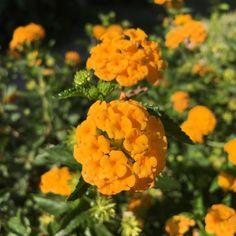 #yellow #orange #oranssi #keltainen #kukka #flowers #instaflowers #summer