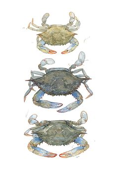 Blue Crabs Watercolor Painting Print by studiotuesday on Etsy