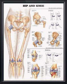 Hip and Knee anatomy poster provides detail on the hip joint with lateral, anterior and posterior views. Skeletal system for doctors and nurses.