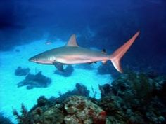 Caribean reef shark – We are in the tropics here in Belize, so of course, there are going to be some dangerous animals. We do have one poisonous snake here called the Fer-de-Lance, which lives mainly in the jungle. - See more at: http://bestplacesintheworldtoretire.com/questions-and-answers/2487-are-there-poisonous-reptiles-snakes-and-insects-and-dangerous-animals-in-belize#sthash.k1aMM704.dpuf