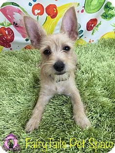 Winchester, KY - Schnauzer (Miniature)/Chihuahua Mix. Meet Oscar, a puppy for…